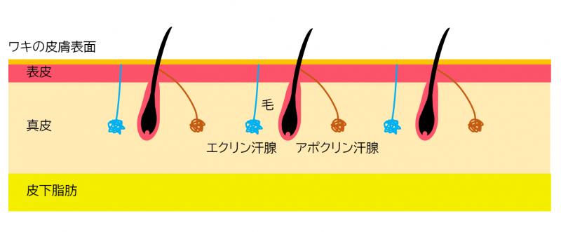 ワキの皮膚の断面イメージ図